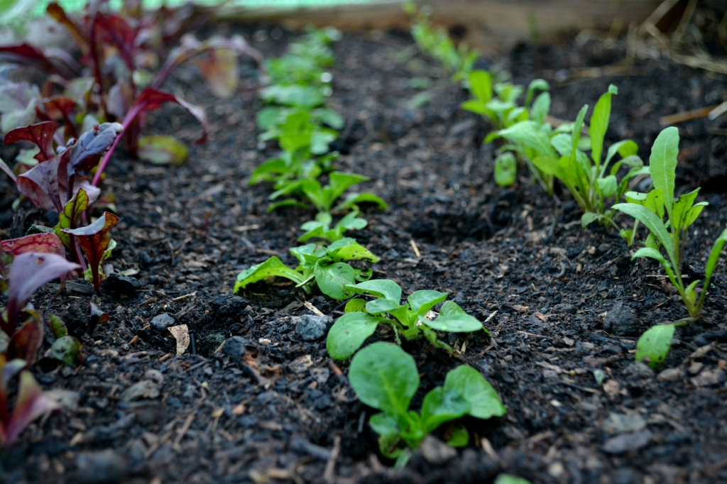 Bladgrönsaker i odlingstunneln.