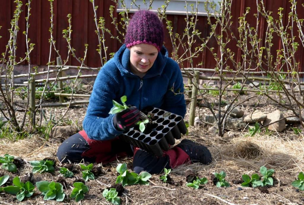 Planterar bondbönor
