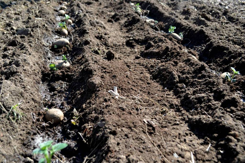 Furrows in the soil with seed potatoes.