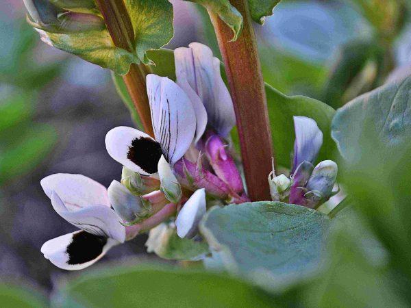 Blommande bondböna