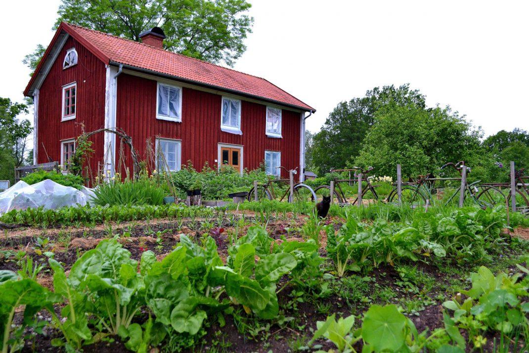 Grönsaksodling i juni.
