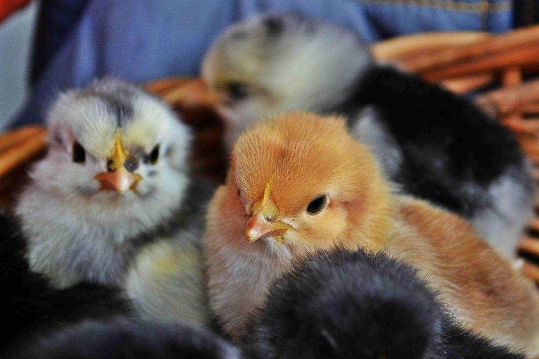 Kycklingar i en korg,