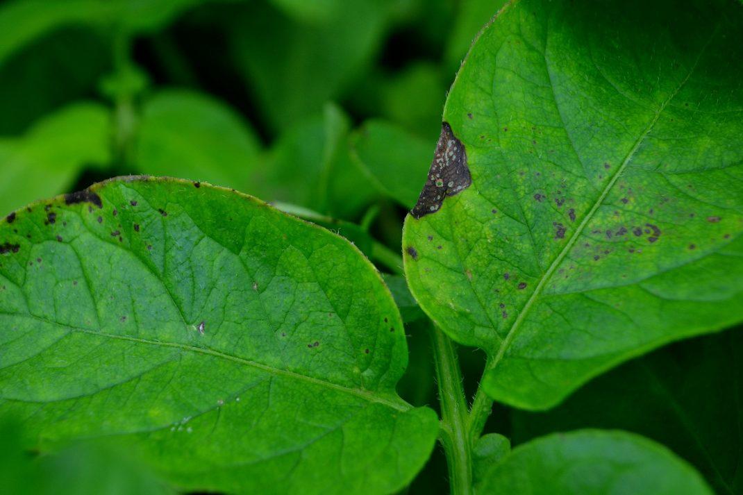 Små bruna fläckar på annars gröna blad.
