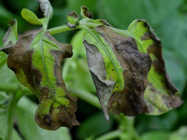 Bruna fläckar på potatisblasten tyder på bladmögel.