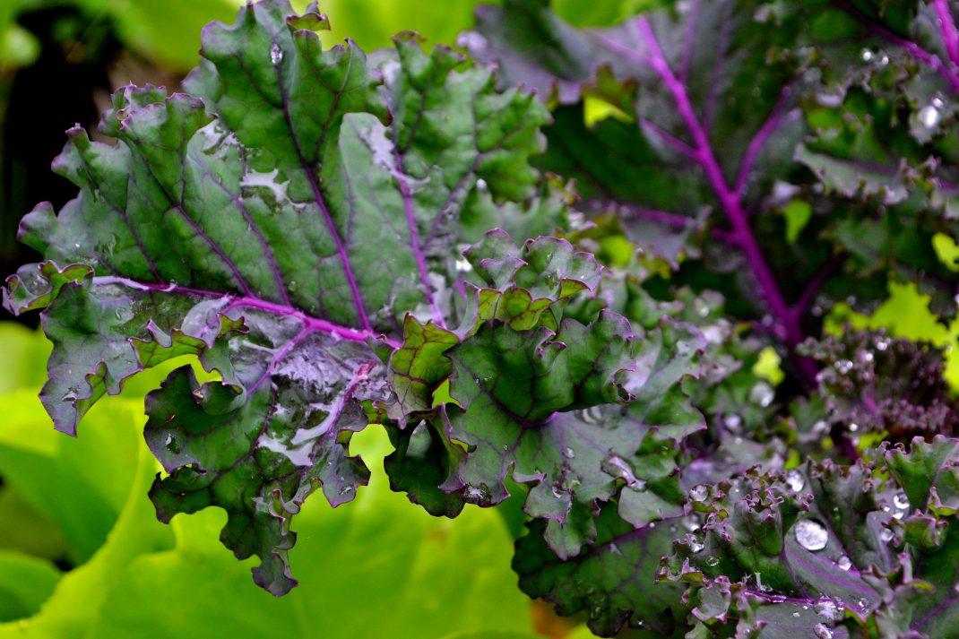 Sexåriga Otto har sått illgrön sallat under purpurkålen i sitt land. Så vackert!