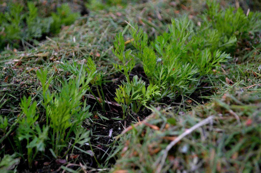 Täckodling med gräsklipp