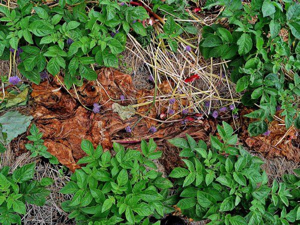 Lager av växtdelar och halm täcker åsarna av potatis.