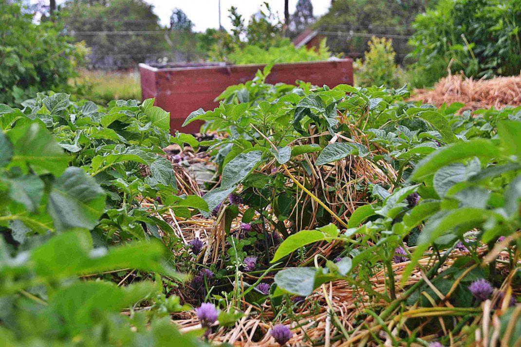 I ett tjockt täcke av växtdelar och halm trivs potatisen.