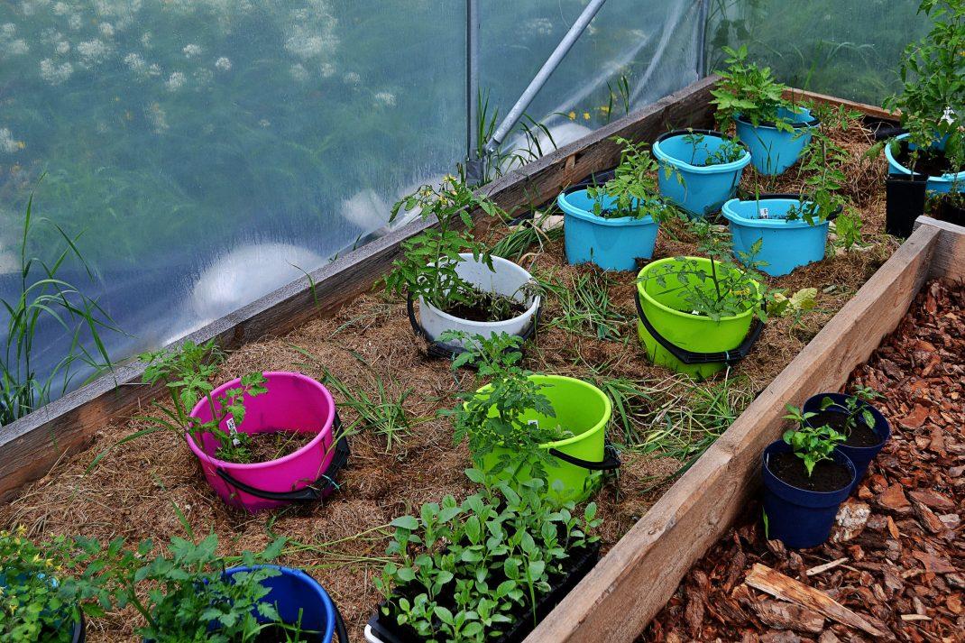 Tomatbädd i tunnelväxthuset, där tomaterna odlas i hinkar utan botten.