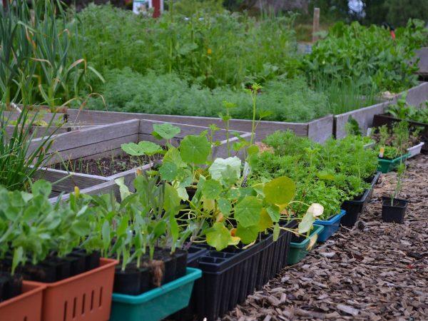 Plantor i brätten i köksträdgården