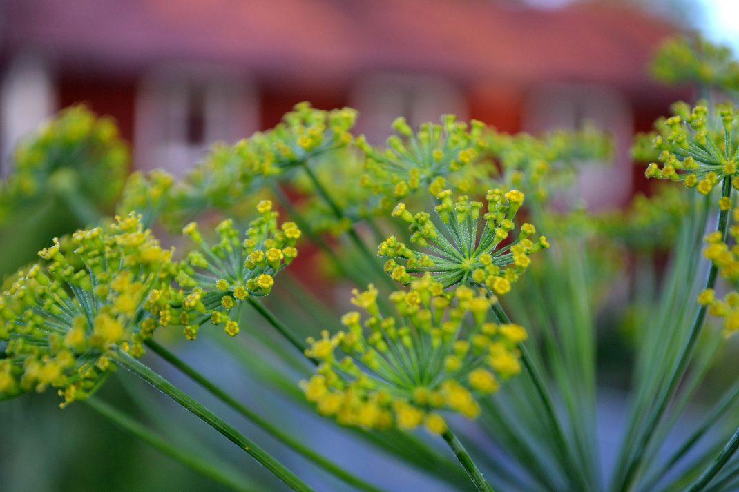En dillkrona i gul blomning med husets röda fasad i bakgrunden.