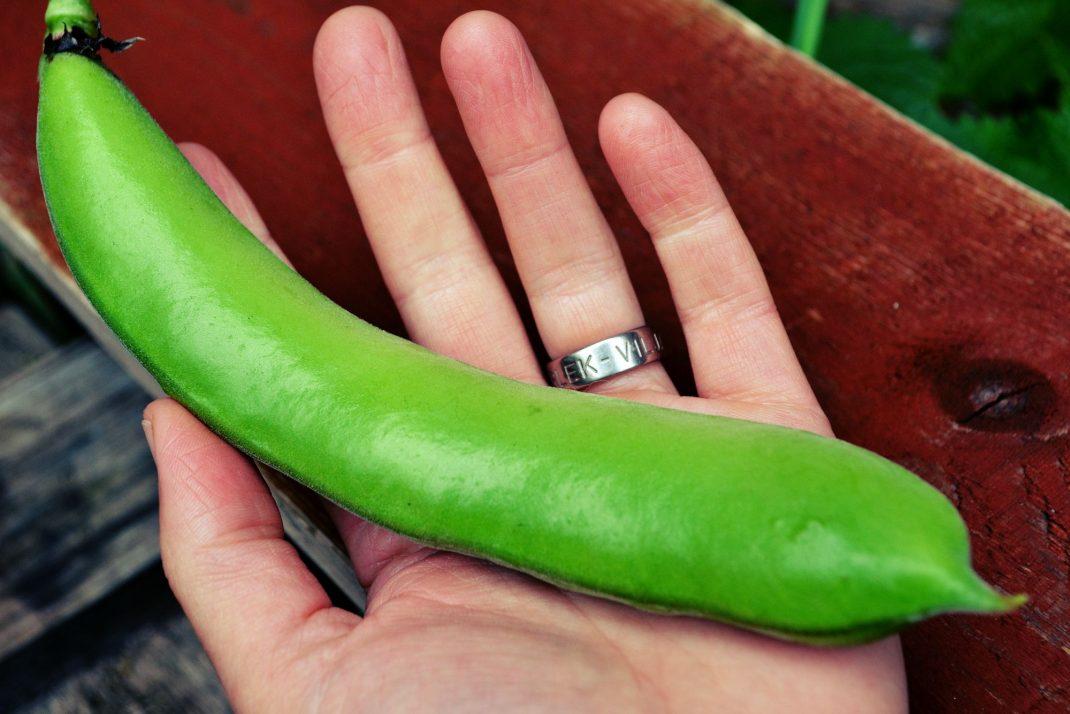 En stor grön bondböna ligger i min hand.