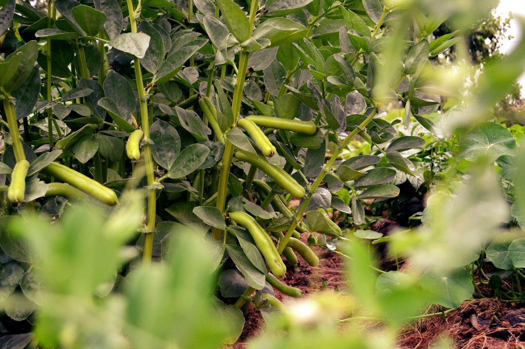 Läckra bondbönor växer ut längs plantornas stjälkar.