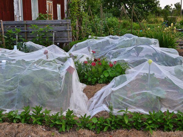 Kålkvarteret är inbäddat i nät för att skydda plantorna från skadedjur.