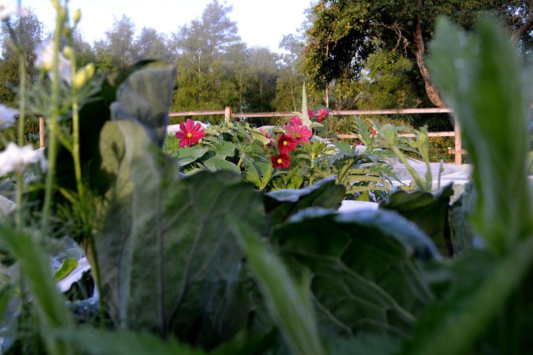 Rosa sommarblommor växer mitt i kållandet.