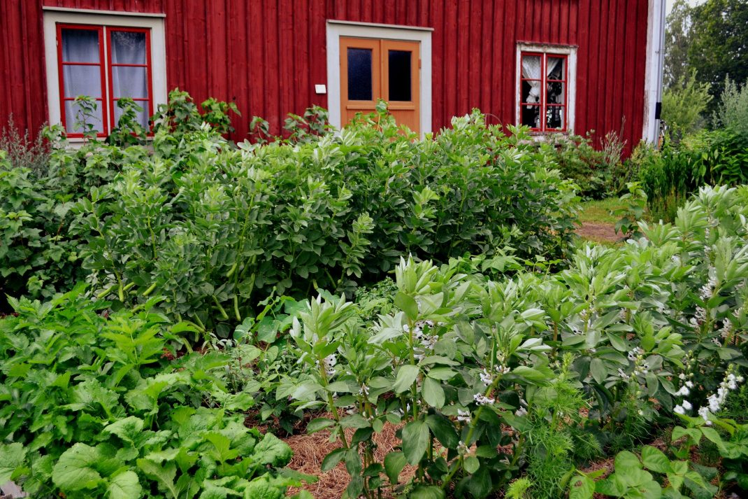 Höga plantor av bondbönor i köksträdgården.