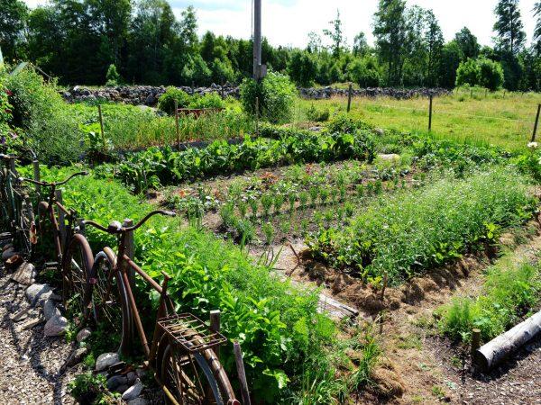 Grönskande köksträdgård i juli.