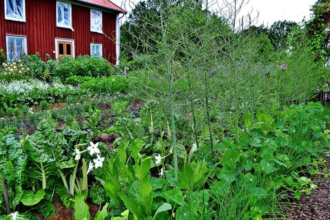 Köksträdgården grönskar i början av juli. I förgrunden syns sparrisplanteringen.