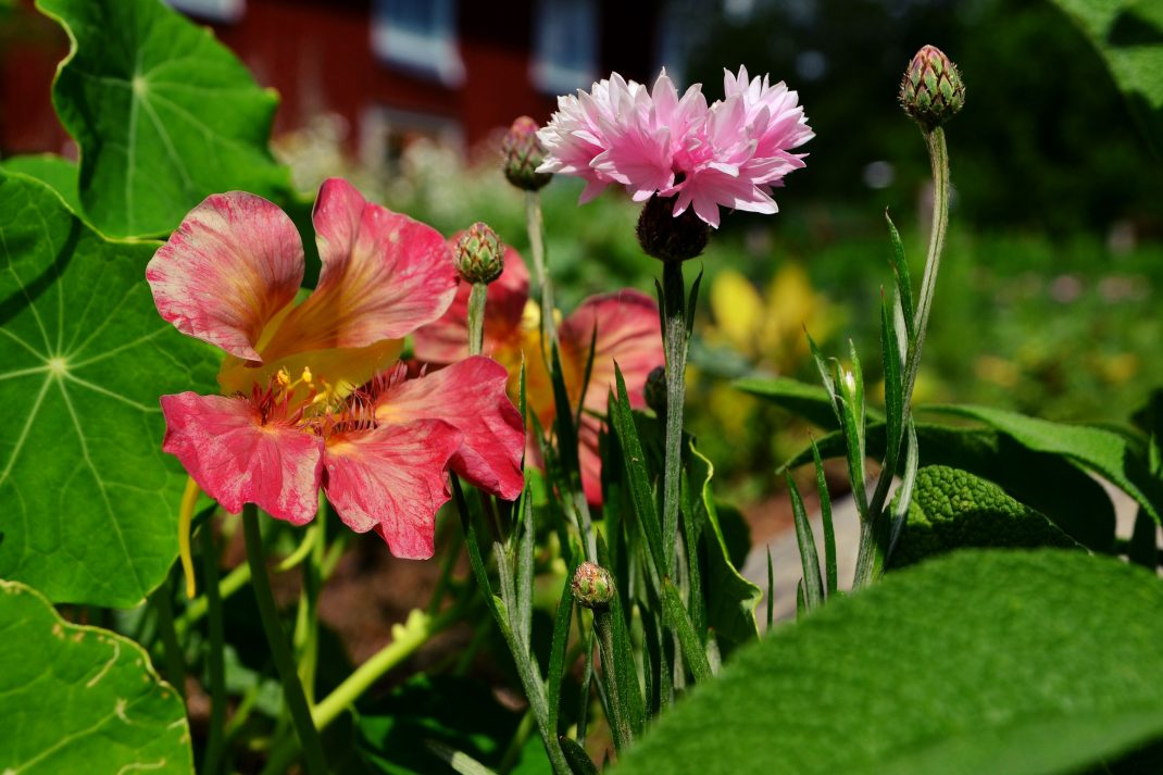 Rosa krasse och rosa blåklint tillsammans bland grönsakerna. Sow in july, pink cress.