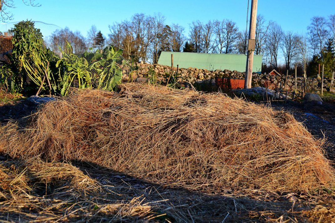 En odlingsbädd täckt av ett tjockt lager halm.