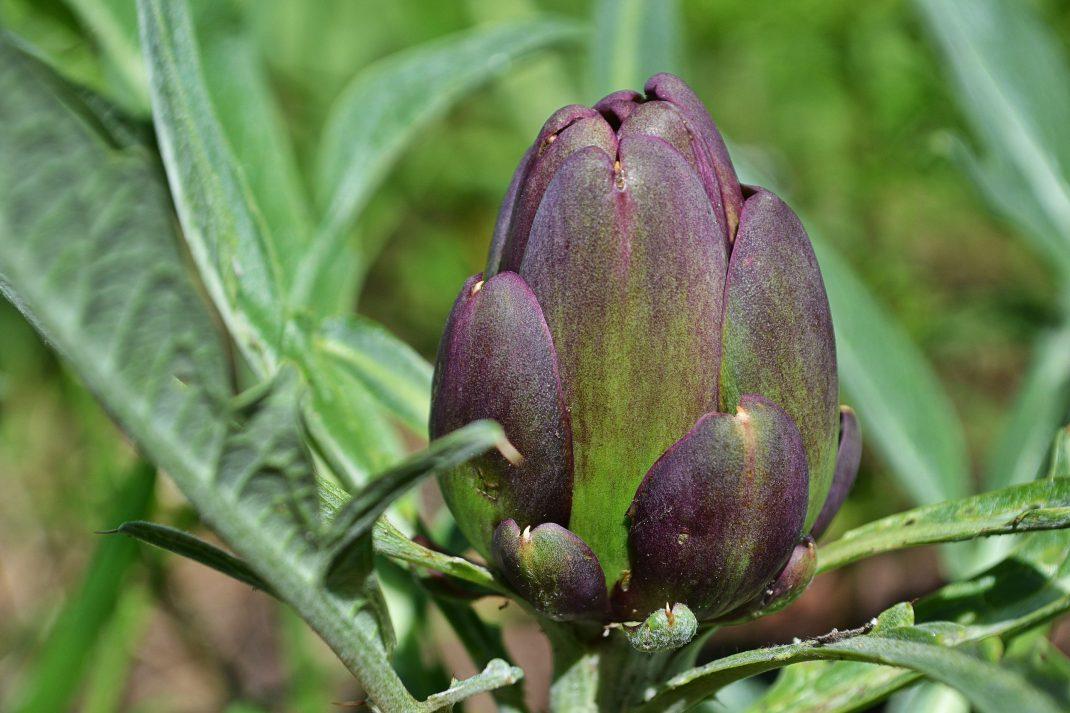 Övervintrad kronärtskocka med en vackert lila knopp.