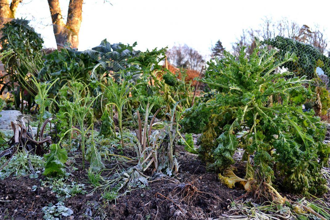 Frost över köksträdgården, vissna grönsaksplantor.