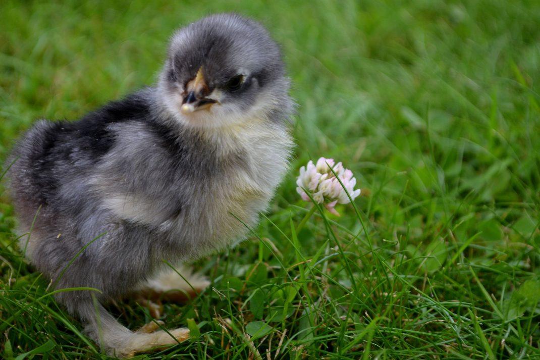 Liten kyckling på gräsmatta.