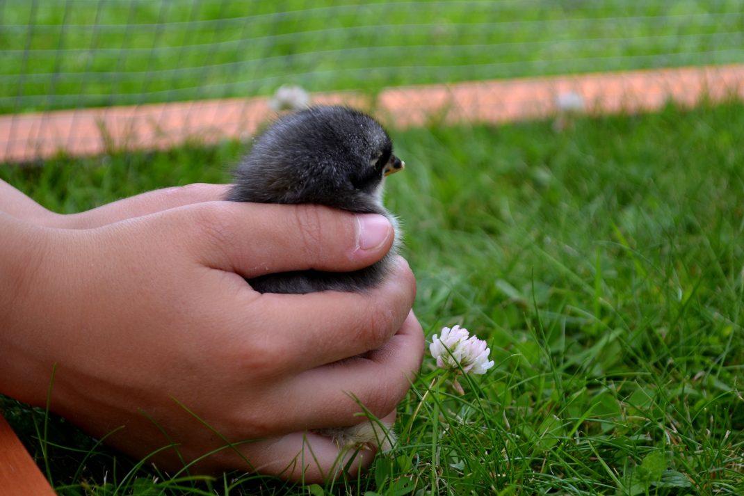 Två händer sätter ner en liten kyckling på gräset.