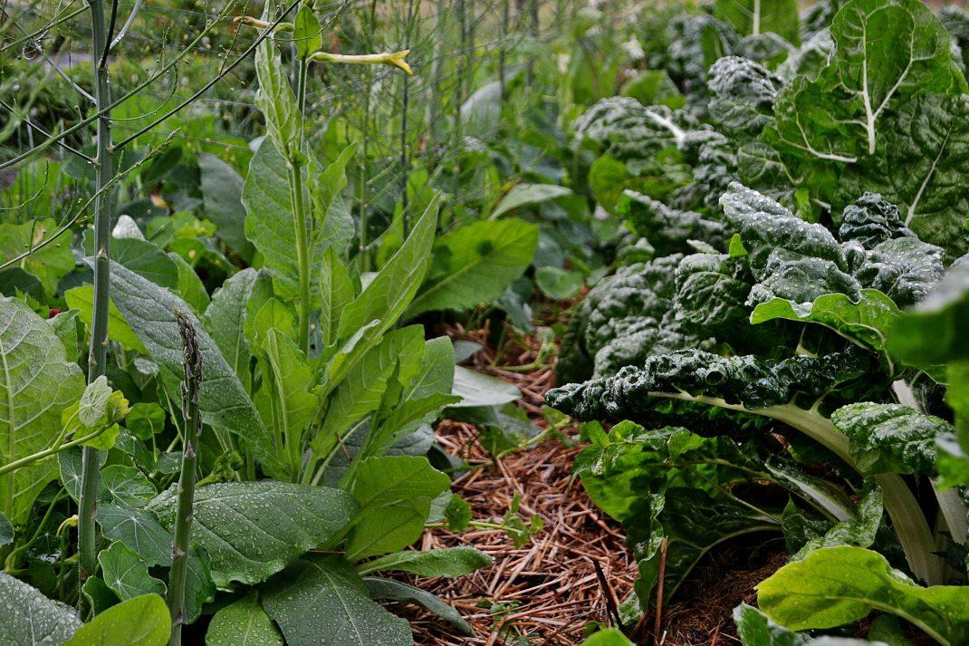 Smal gång mellan prunkande odlingsbäddar.