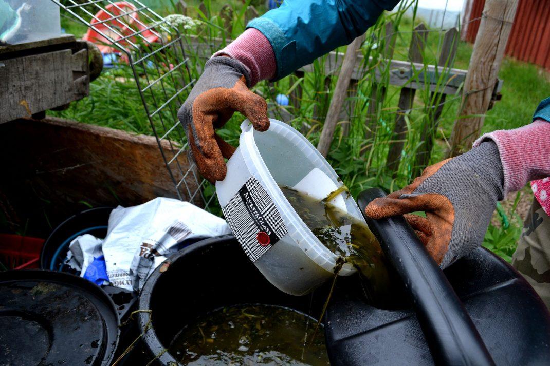 Nässelvatten hälls över i en vattenkanna. Nettle water in a watering can.