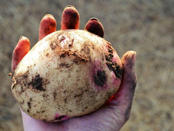 En stor potatis av sorten 'Amour'.