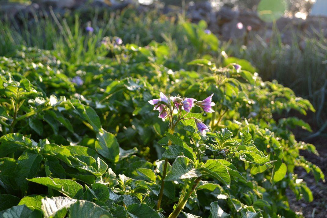 Potatisblast och fina lila potatisblommor.