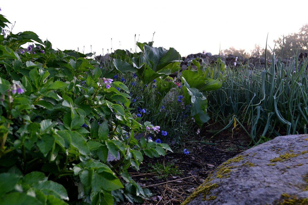 Potatis blommar i en odlingsbädd.