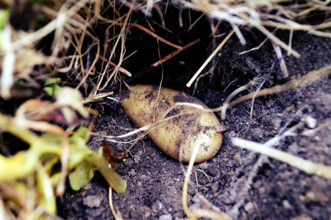 En potatis ligger på jorden under ett tjockt täcklager.