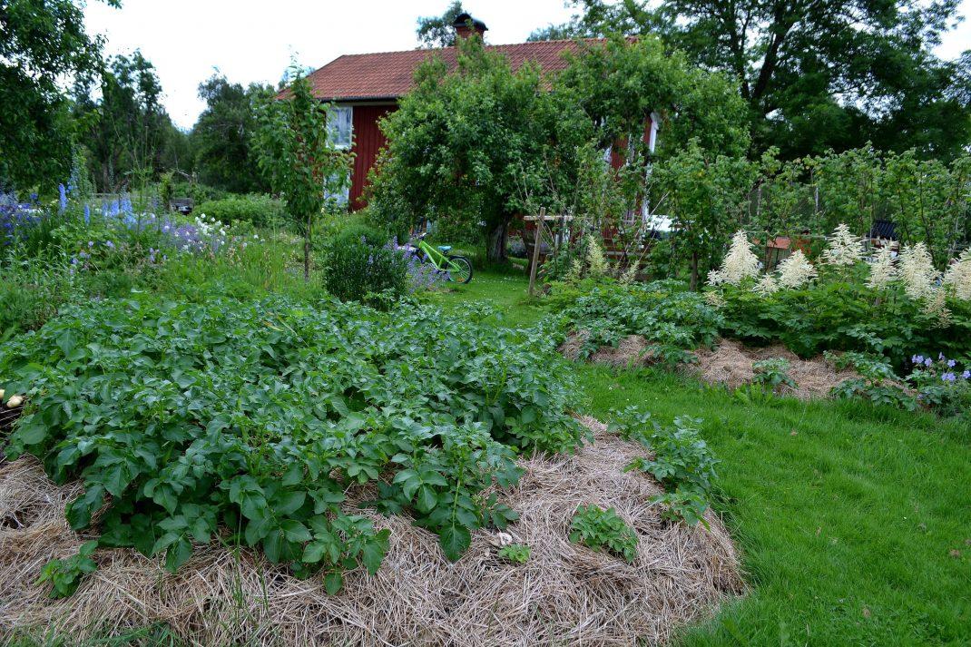 Potatisodling i en täckt del av gräsmattan.