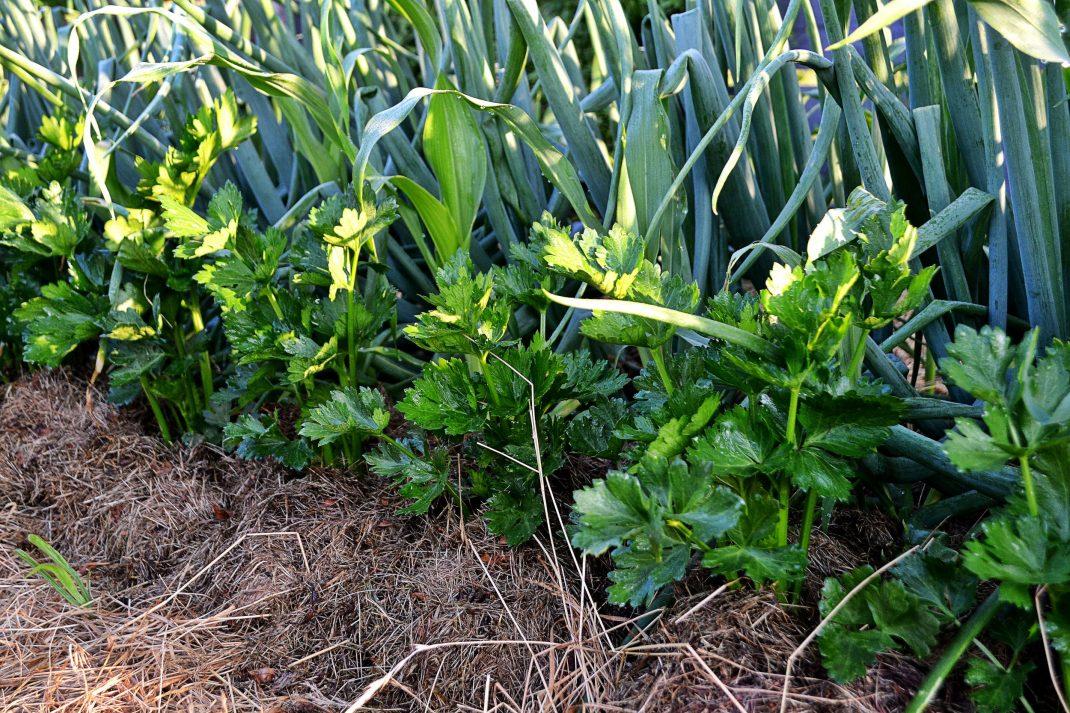 Små plantor av rotselleri står på rad i en täckt bädd.