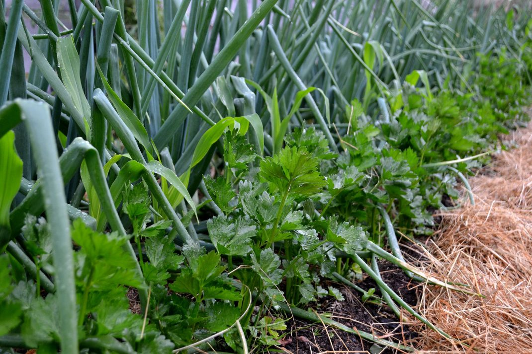 Rotselleri och lök växer i djupbädden. Nettle water, fertilizing the root celery and onions in my bed.