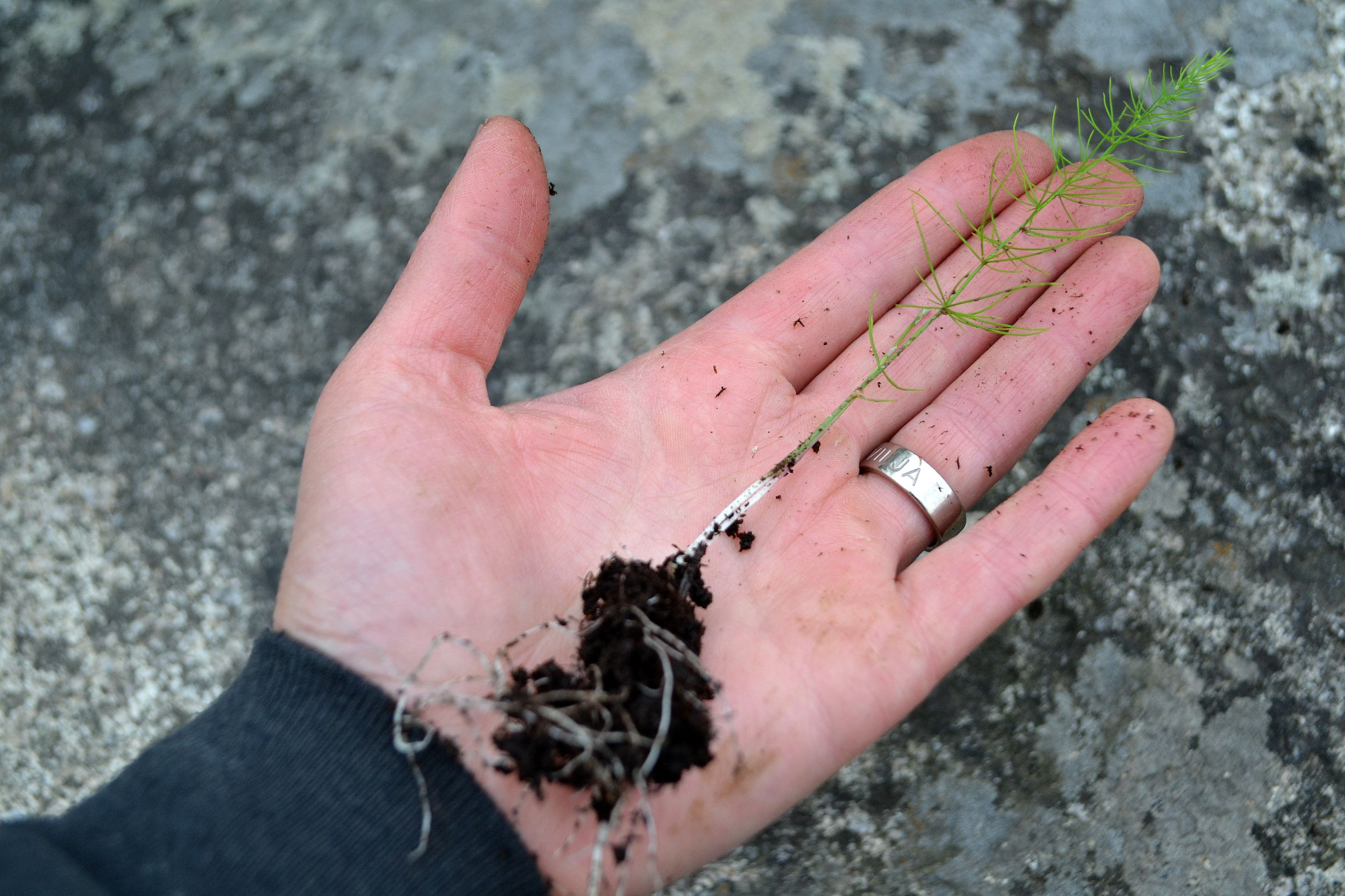 En liten sparrisplanta ligger i min hand. All about asparagus, a new asparagus plant in my hand.