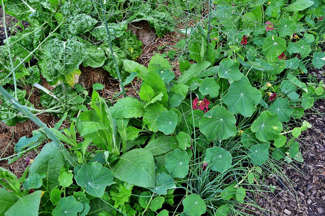 Sommarblommor växer mellan sparrisplantorna.