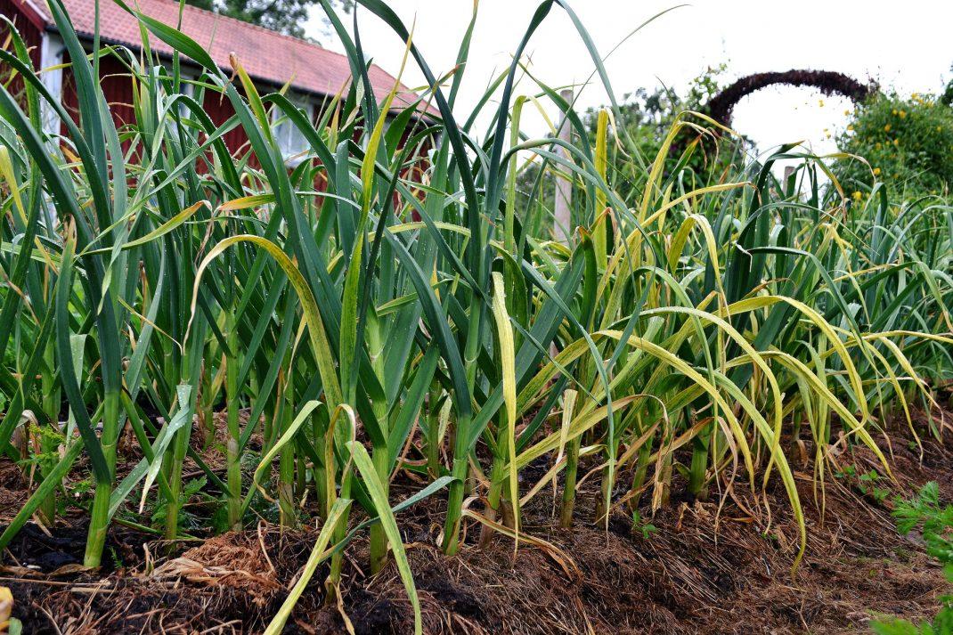 I en odlingsbädd täckt med gräsklipp står flera rader med vitlök med hög blast.