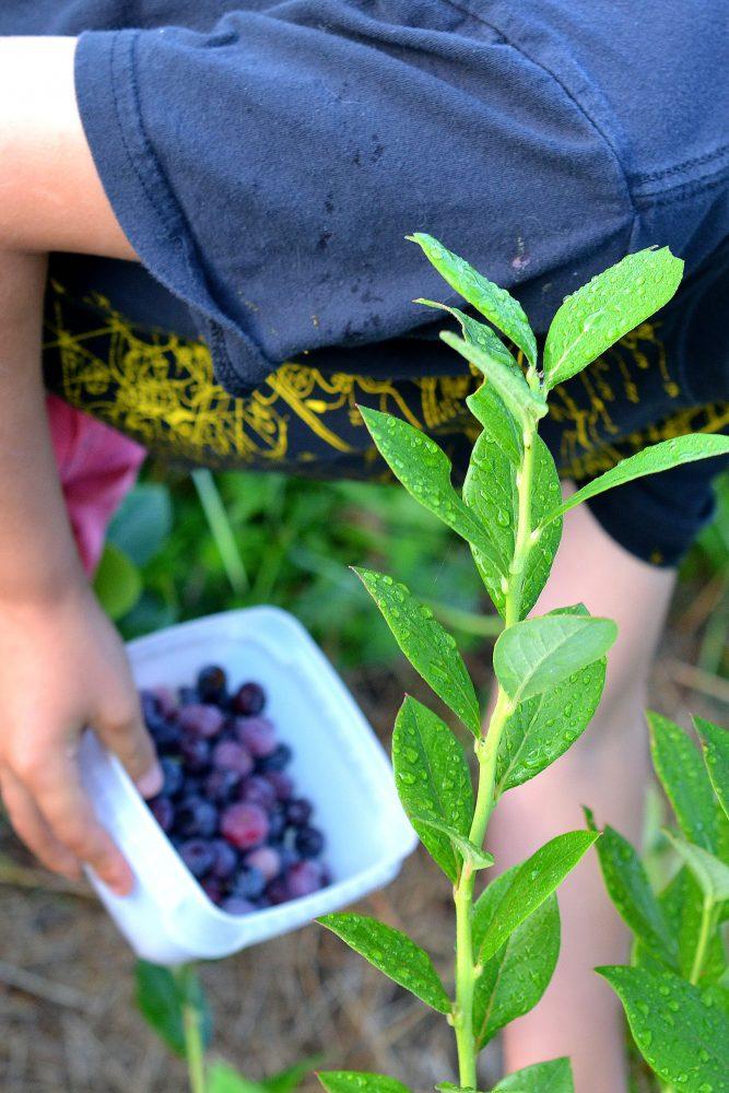 Barn plockar blåbär.