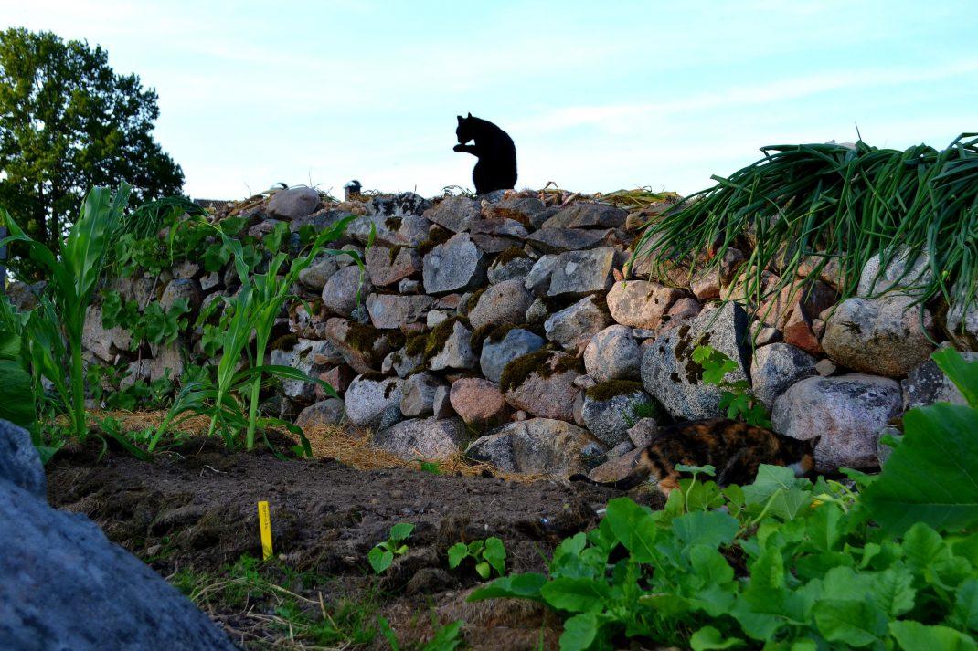 En katt sitter och tvättar sig på en stenmur ovanför en odlingsbädd.