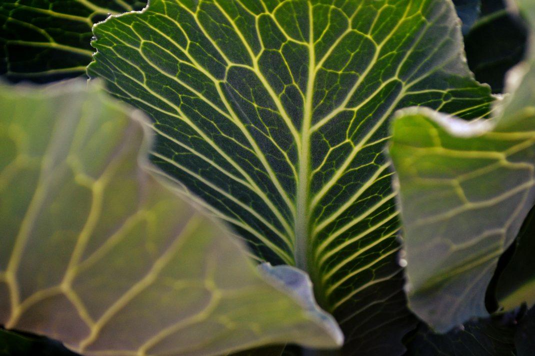 Ett blad av kål med tydliga bladnerver.