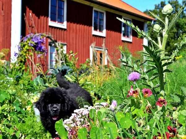 Hund promenerar glatt mitt i den färgglada odlingen.
