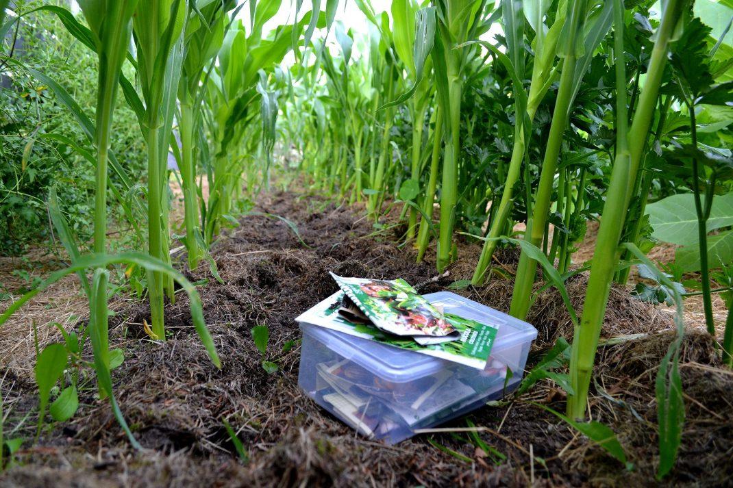 Odlingsyta ledig bland två rader av majs.