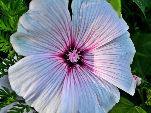En fin malva i blomning.