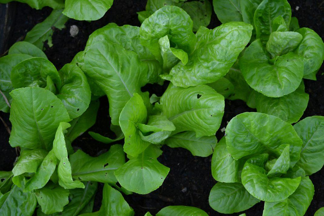 Gröna fina små sallatshuvuden tätt tillsammans.