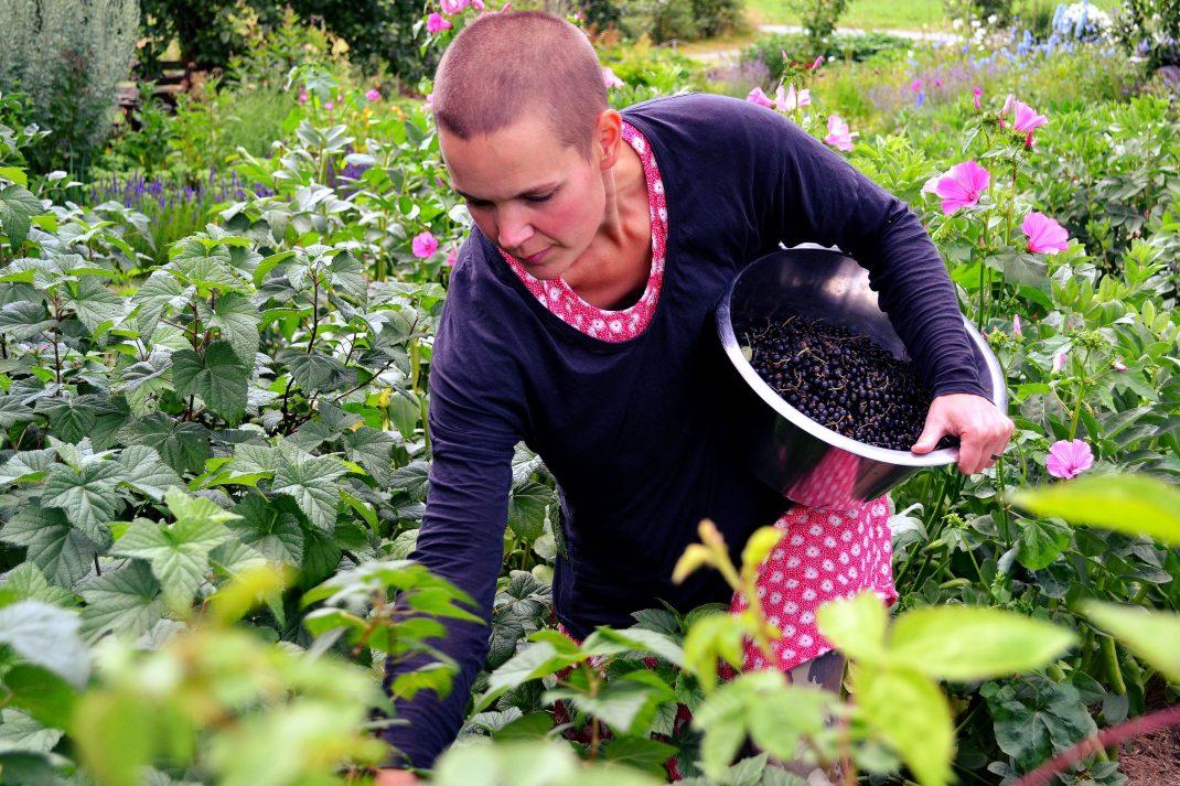 Sara plockar svarta vinbär.