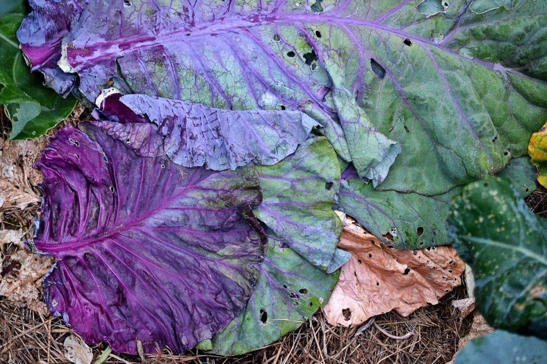 Färgglada kålblad ligger platt på marken.