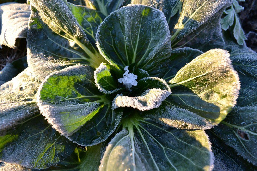 Kålväxt med mycket frost på bladen.